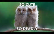 Owls are the World's Stealthiest and Cutest Killers